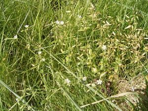 Cirsium arvense weeds